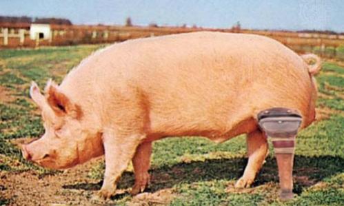 10 truyện cười hài hước về lợn dịp Tết Kỷ Hợi - page 2 - 4