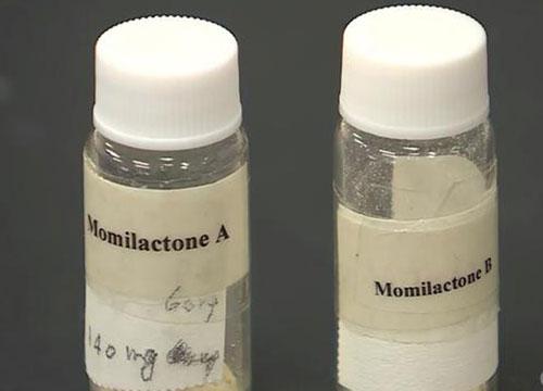 Hai hợp chất Momilactone A và B được chiết xuất tại phòng thí nghiệm Sinh lý Thực vật và Sinh hóa,Đại học Hiroshima.