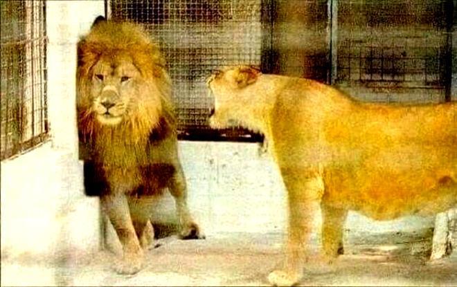 Chúa sơn lâm cũng sợ vợ đến vỡ mật - 1