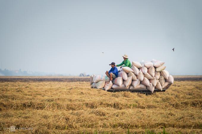 Nông dân đồng bằng sông Cửu Long thu hoạch lúa gạo. Ảnh: Hải Trần.