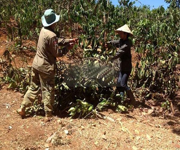 Nhưng thời gian này, hàng loạt các tỉnh Tây Nguyên đang lâm vào hoàn cảnh khó khăn vì hạn hán kéo dài, sản lượng cà phê giảm mạnh