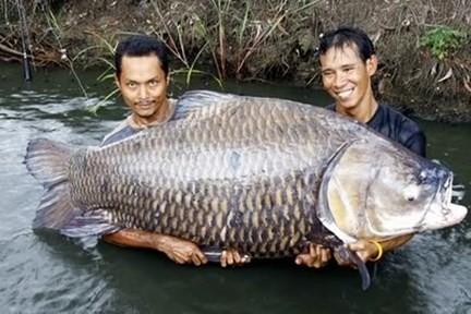 Cá hô khủng ( một loài cá chép) trên sông Mê Kông.