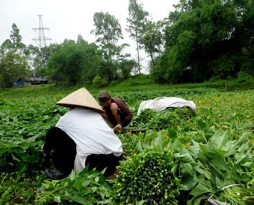 Cận cảnh quy trình trồng rau muống tưới xác động vật thối - Ảnh 4