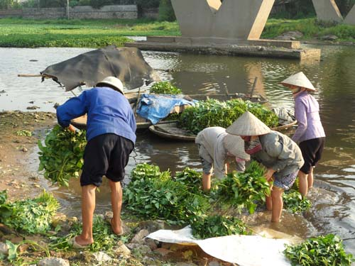 Cận cảnh quy trình trồng rau muống tưới xác động vật thối - Ảnh 7