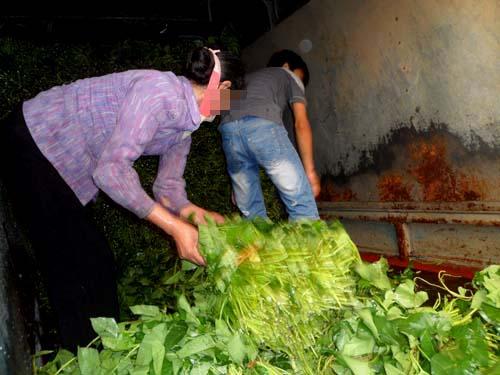 Cận cảnh quy trình trồng rau muống tưới xác động vật thối - Ảnh 10