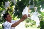 Trái cây Tết miền Tây sẽ tăng giá bất thường?