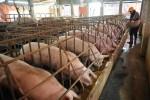 Thịt lợn giảm giá: Sắp Tết lại dính đòn thương lái Tàu