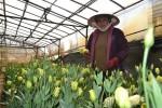 Giá hoa Đà Lạt tăng vọt