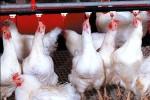 Giá gà còn 15.000 đồng/kg ở Đồng Nai