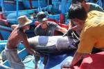 Ngư dân trúng đậm cá ngừ đại dương ở Hoàng Sa, Trường Sa