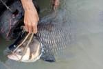 """Bắt được cá hô """"khủng"""" trên sông, bán gần 90 triệu đồng"""