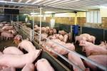 Trung Quốc sẽ giảm 3,4 triệu đầu lợn trong năm nay