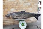 Câu được cá trắm đen nặng 41kg, bán với giá 45 triệu đồng