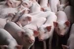 """Đã kiểm soát dịch bệnh, chờ Trung Quốc """"gật đầu"""" là xuất lợn"""