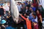 Câu được cá ngừ vây xanh lớn gấp 3 lần bình thường