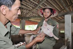 """Giá lợn hơi 6.6: Cứu không xuể, dân vẫn """"khóc"""" vì giá lợn"""