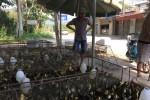 Điện Biên ồn ào chuyện mua ngỗng giống đắt gấp đôi giá thị trường