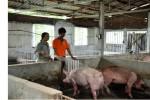 """""""Chìa khóa"""" mở thị trường lợn vào Trung Quốc và các nước là gì?"""