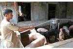 Sau 2 tháng giải cứu thịt lợn: Giá lợn lại quay về mốc 20.000 đ/kg