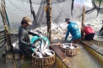 Xuất khẩu cá tra: Việt Nam có thể kiện Mỹ
