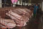 Giá lợn hơi có thể đạt 35.000 đồng/kg vài ngày tới, chớ vội mừng?