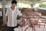 Giá lợn mới nhất 12.7: Thương lái miền Bắc đang mua giá 33.000 đ/kg