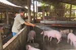 Giá lợn hôm nay 15.7: Giá vọt lên hơn 1 triệu/tạ, lái buôn tới tận chuồng bắt lợn