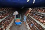 Đến thời quả trứng lên ngôi: Có thể thu về tỷ USD từ xuất khẩu