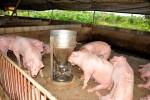 """Giá lợn hôm nay 31.7: Phát hiện lợn """"đi biên"""" bị bơm nước và nhét cát vào bụng, 2 miền giữ giá"""