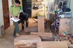 Điều tra vụ cất giấu gỗ thông đỏ trong nhà Trưởng BQL rừng