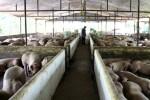 """Giá lợn hôm nay 9.8: """"Bão ngầm"""" của ngành lợn, nâng lên hạ xuống theo ý đồ"""