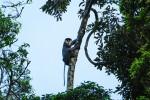 Quảng Nam phục hồi 80ha rừng cho voọc sinh sống