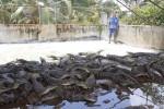 Giá cá sấu miền Tây tăng