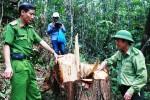 Xét xử 21 bị cáo liên quan đến vụ phá rừng pơ mu ở Quảng Nam
