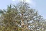 Chiêm ngưỡng cây mai 90 năm tuổi được rao bán 1,6 tỉ đồng ở Cần Thơ