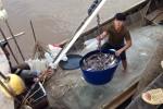 Ngư dân trúng đậm cá khoai