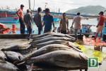"""Khánh Hòa: Ngư dân trúng đậm cá ngừ đại dương """"khủng"""""""