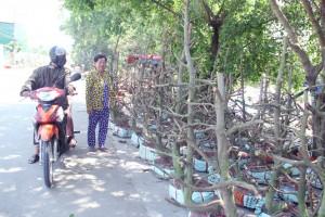Người Sài Gòn thu tiền tỉ nhờ bán cả trăm gốc mai bonsai sau Tết