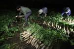 """Nông dân trắng đêm thu hoạch khi củ cải được """"giải cứu"""""""