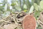 Đồng Nai cảnh báo việc Trung Quốc thu mua rễ hồ tiêu