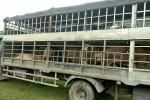 Hãi hùng cung đường nhập lậu thịt lợn 10.000 đồng/kg từ Trung Quốc
