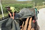 Phát hiện vụ vận chuyển gỗ hương số lượng lớn có dấu hiệu giả giấy tờ