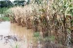 Nước từ Lào tràn về, dân miền Tây không kịp trở tay