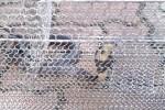 Kiểm lâm TP.HCM: Lần đầu ghi nhận rắn hổ mang xuất hiện ở nội thành