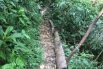 Xót xa những cây sa mu trăm tuổi bị đốn gục ở Nghệ An