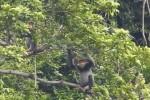 Quảng Nam trồng lại cây bản địa để bảo vệ voọc chà vá chân xám