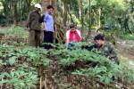 Quảng Nam đề xuất mở rộng địa bàn trồng sâm Ngọc Linh