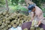 Vắng bóng thương lái mua sầu riêng, nông dân miền Tây lo lắng