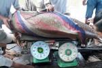 """Cá hô """"khủng"""" nặng 125kg mắc lưới của ngư dân trên sông Tiền"""