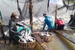 Xuất khẩu cá tra kỷ lục 20 năm qua: Cảnh báo 'bẫy' từ thị trường Trung Quốc